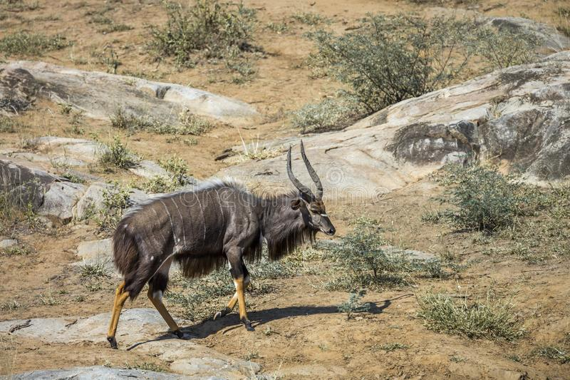 Nyala i den Kruger nationalparken, Sydafrika arkivbilder