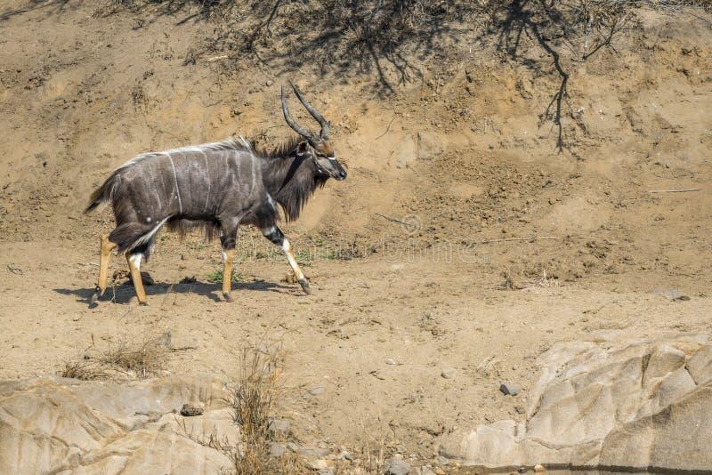Nyala i den Kruger nationalparken, Sydafrika arkivfoto