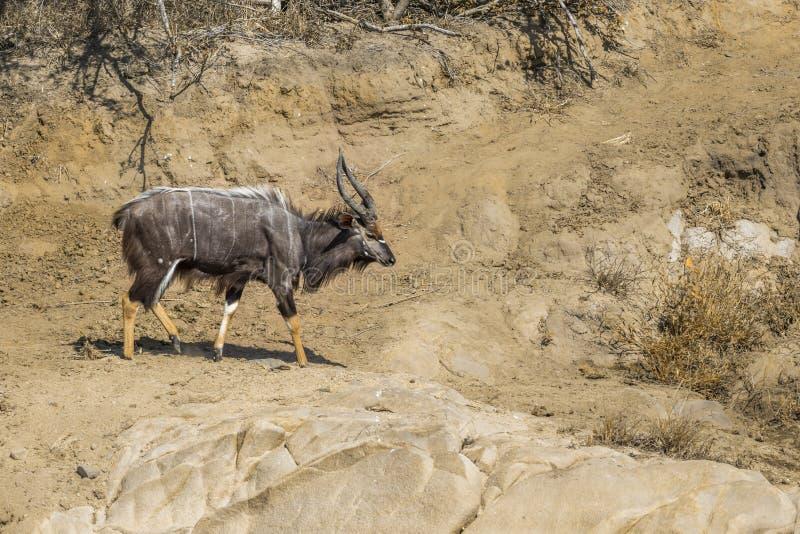 Nyala i den Kruger nationalparken, Sydafrika royaltyfri fotografi