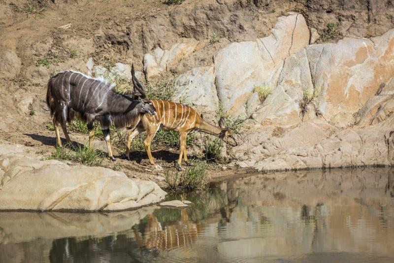 Nyala i den Kruger nationalparken, Sydafrika royaltyfria foton