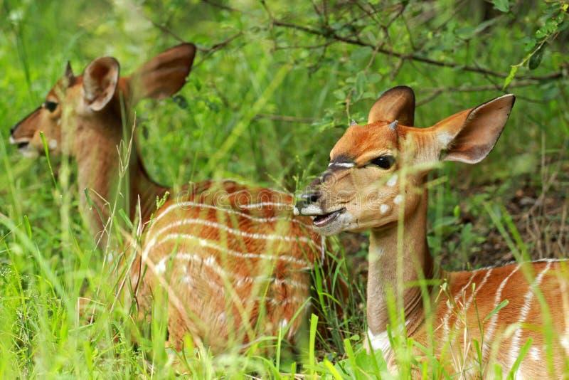 Nyala Kruger nationalpark royaltyfri foto