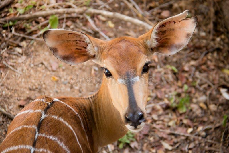 Nyala-Kuh, die über ihrer Schulter schaut stockbild