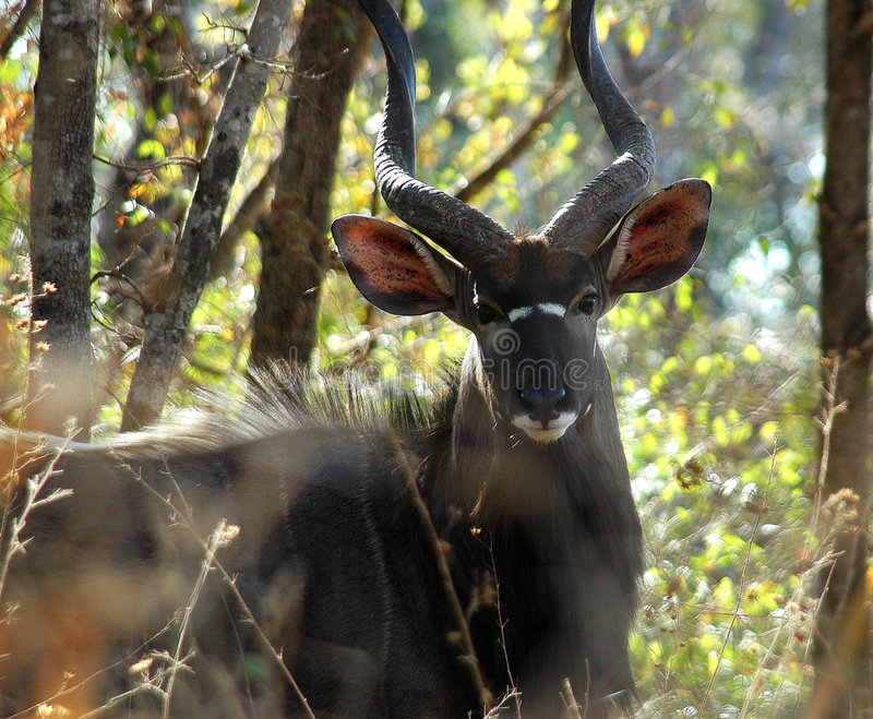 Nyala Male. Kruger national park, South Africa royalty free stock images