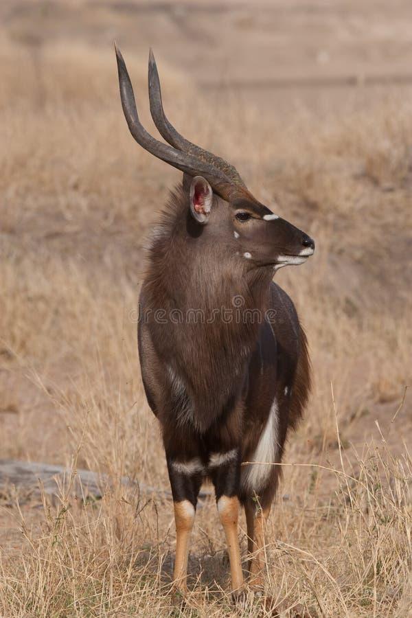 Nyala male royalty free stock photo