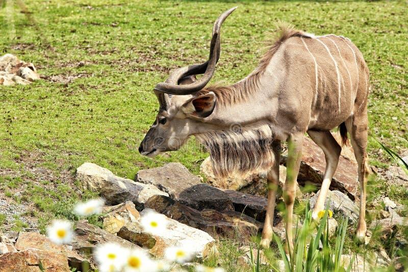 Nyala male antelope standing on the pasture stock photos