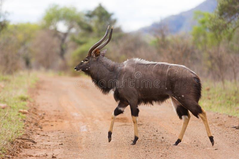 Nyala stock photos