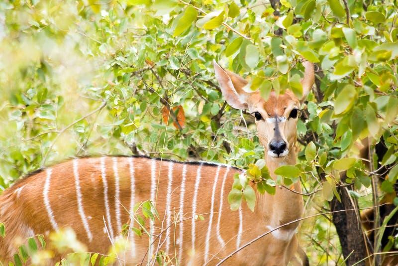 Nyalaantilop i den Kruger nationalparken arkivbild