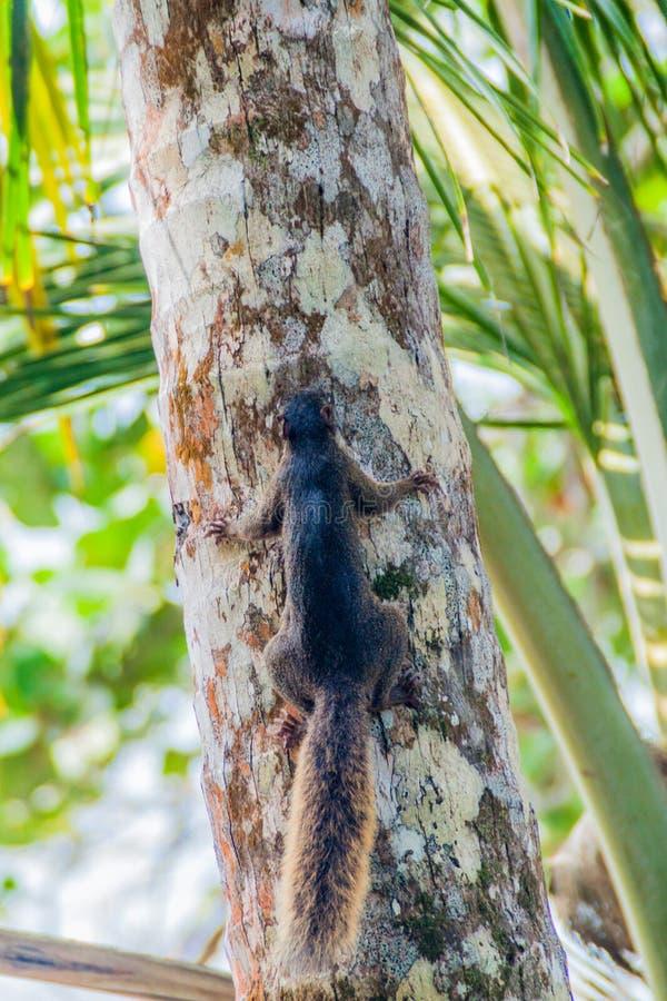 Nyanserade ekorreSciurusvariegatoides i den Cahuita nationalparken, Costa Ri royaltyfri foto