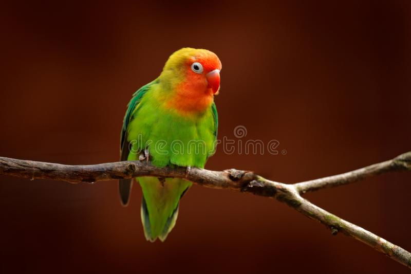 Nyasa Lilian lub Lovebird ` s lovebird, Agapornis lilianae, zielony egzotyczny ptasi obsiadanie na drzewie, Namibia, Afryka piękn obrazy stock
