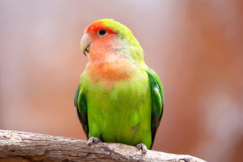 Nyasa lovebird lub lilians lovebird, egzotyczny papuzi ptak, umieszczający na gałąź zdjęcia royalty free