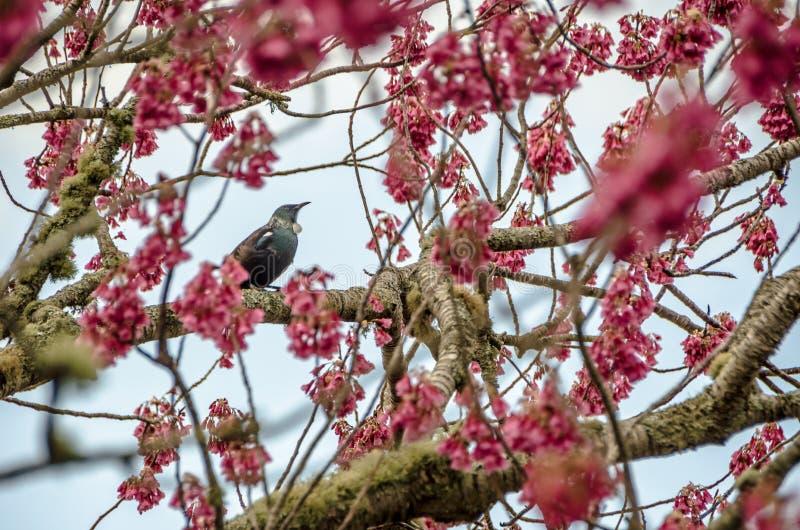 Nyazeeländsk infödd fågel Tui arkivfoton