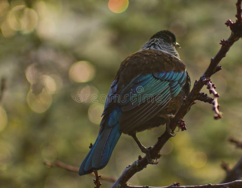 Nyazeeländsk infödingTui fågel i träd i aftonregn royaltyfria foton