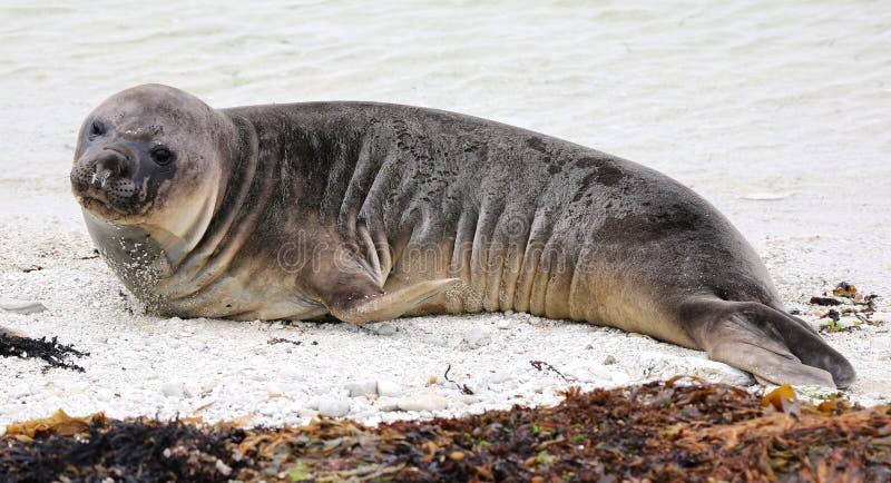 Nyazeeländsk sjölejon (Nya Zeeland) royaltyfri foto