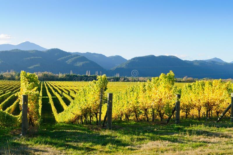 Nyazeeländsk vingård royaltyfri bild