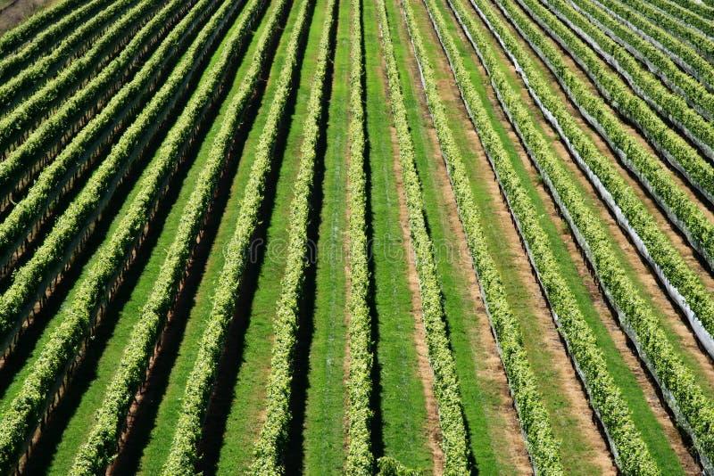 Nyazeeländsk vingård royaltyfri fotografi