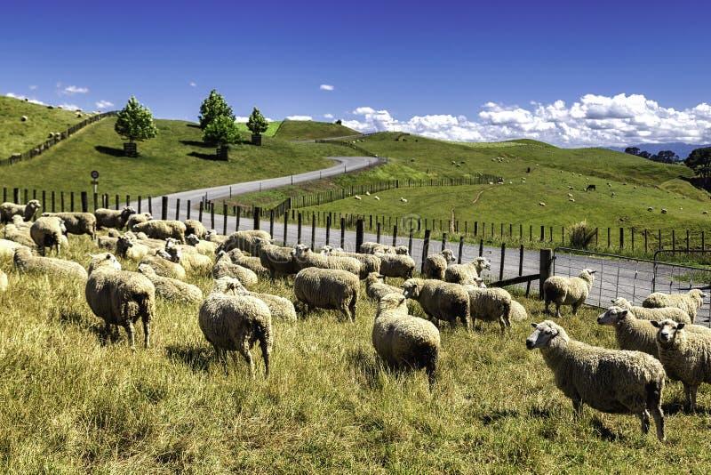 Nyazeeländska får flockas att beta i den härliga gröna kullen arkivfoton