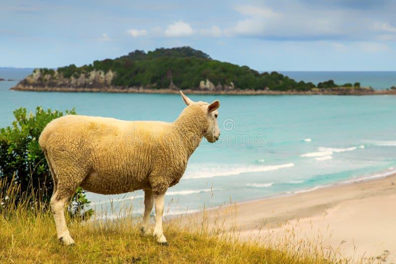 Nyazeeländska får på stranden i monteringen Maunganui royaltyfri foto