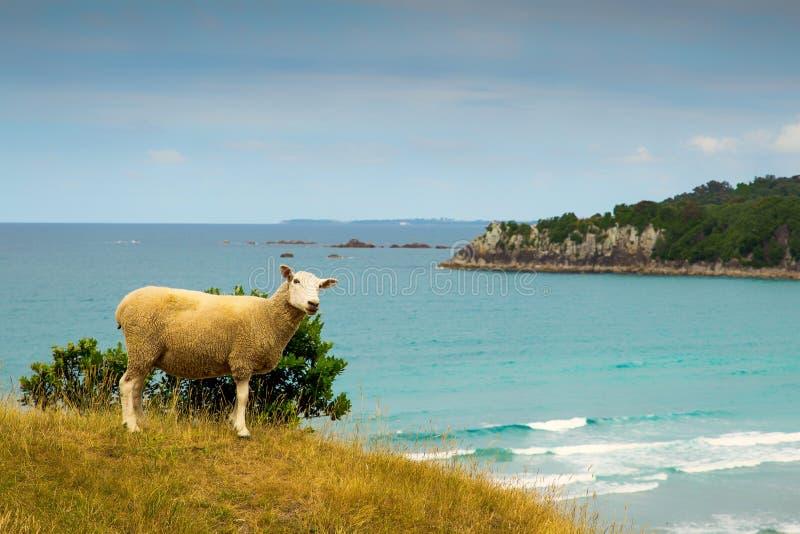 Nyazeeländska får på stranden med turkos bevattnar, monterar Maunganui arkivfoton