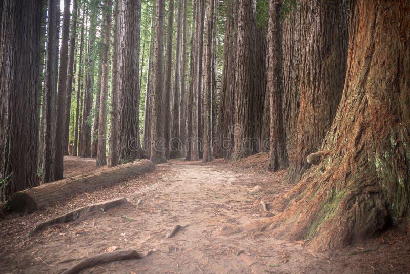 Nyazeeländska redwoodträd fotografering för bildbyråer