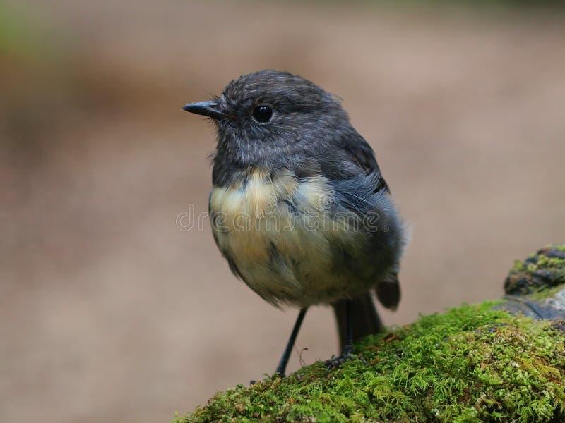Nyazeeländska Robin arkivbilder