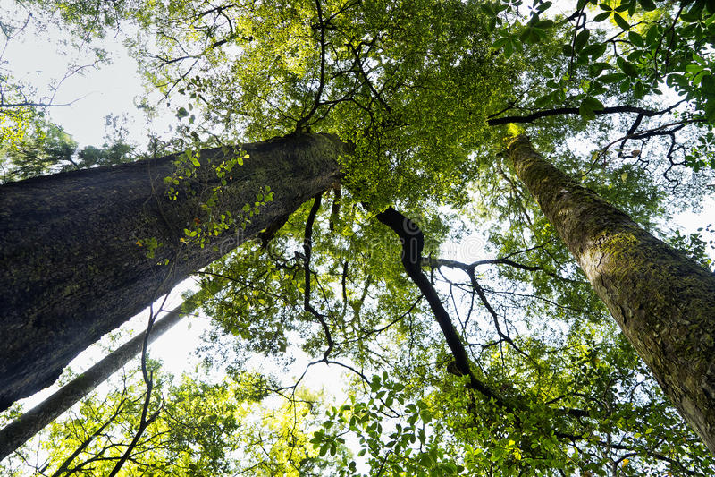 Nyazeeländska Totara går skogen royaltyfria foton