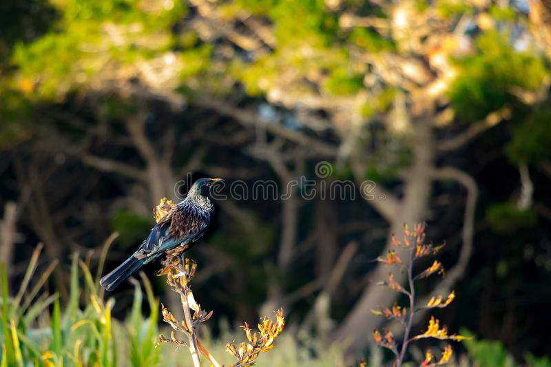 Nyazeeländska Tui Feeding In Morning Sun arkivfoto