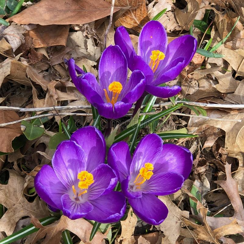 Purple crocuses flowers blooming in the spring royalty free stock image