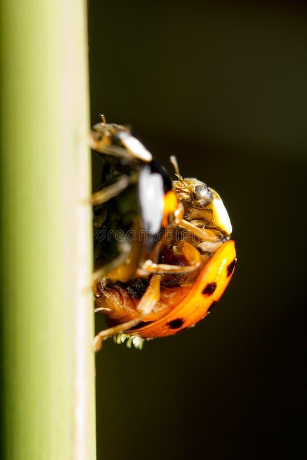Nyckelpiga eller Coccinella fotografering för bildbyråer