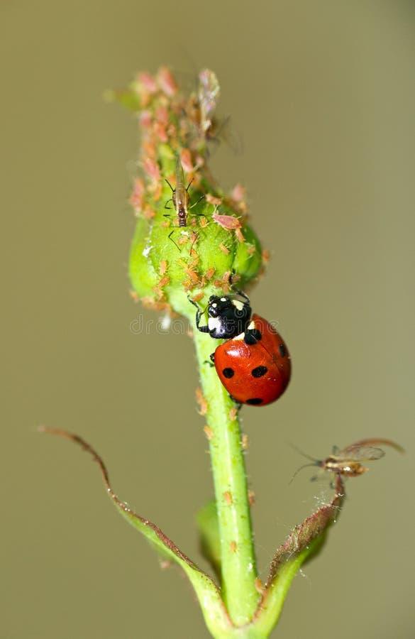 Nyckelpiga-fiende av bladlusen fotografering för bildbyråer