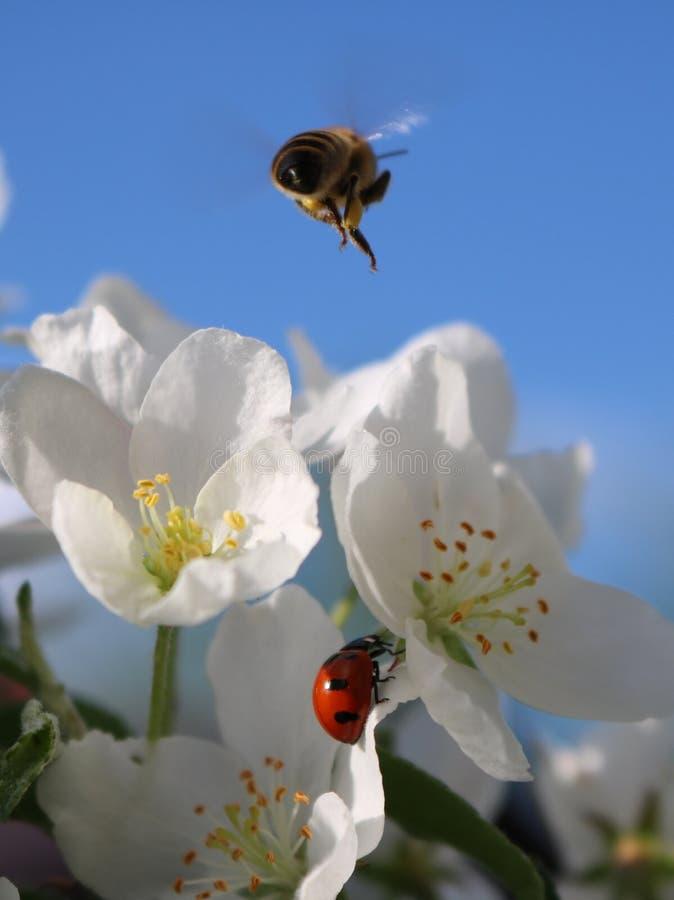 Nyckelpiga och Honey Bee med Apple blomningar royaltyfria foton