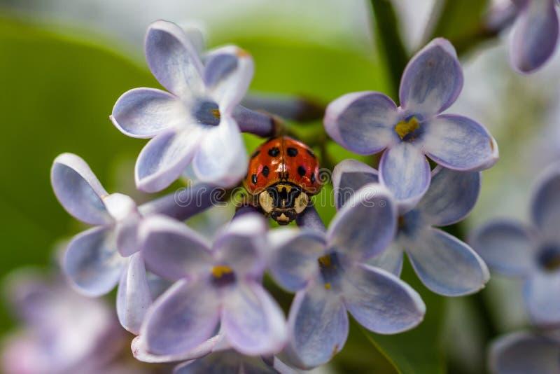 Nyckelpiga- och lilablommor, en har fem kronblad arkivbild