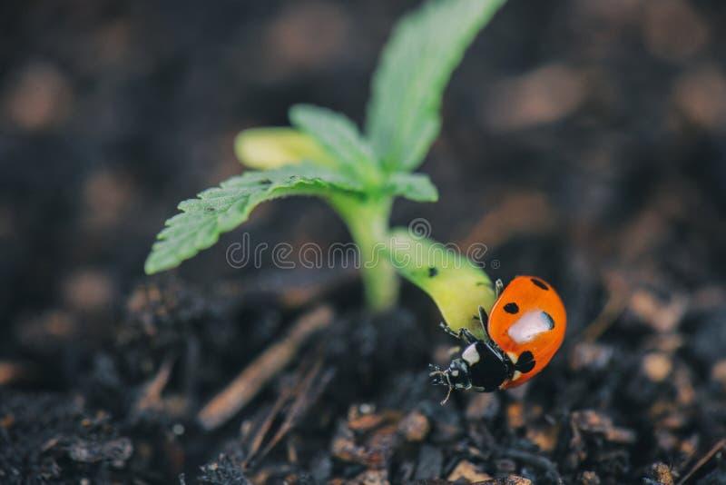 Nyckelpiga på cannabisväxten arkivfoto