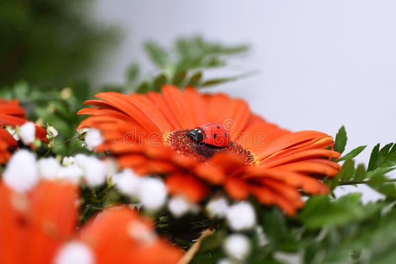 Nyckelpiga på den stora röda blomman arkivfoto