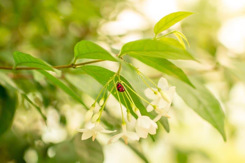 Nyckelpiga på den vita blomman royaltyfri bild