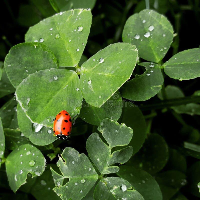 Nyckelpiga på en växt av släktet Trifolium royaltyfri fotografi