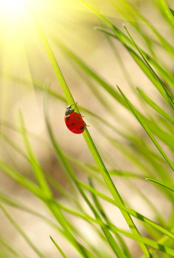 Nyckelpiga på grönt gräs arkivfoto