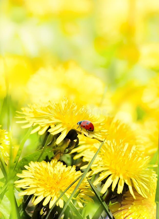 Nyckelpiga på gul blommasommarbakgrund arkivfoto
