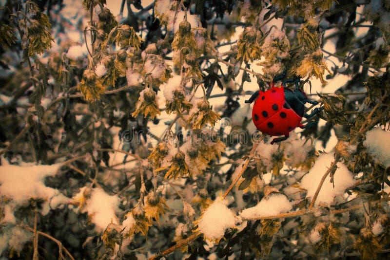 Nyckelpiga på torkade blommor royaltyfri foto