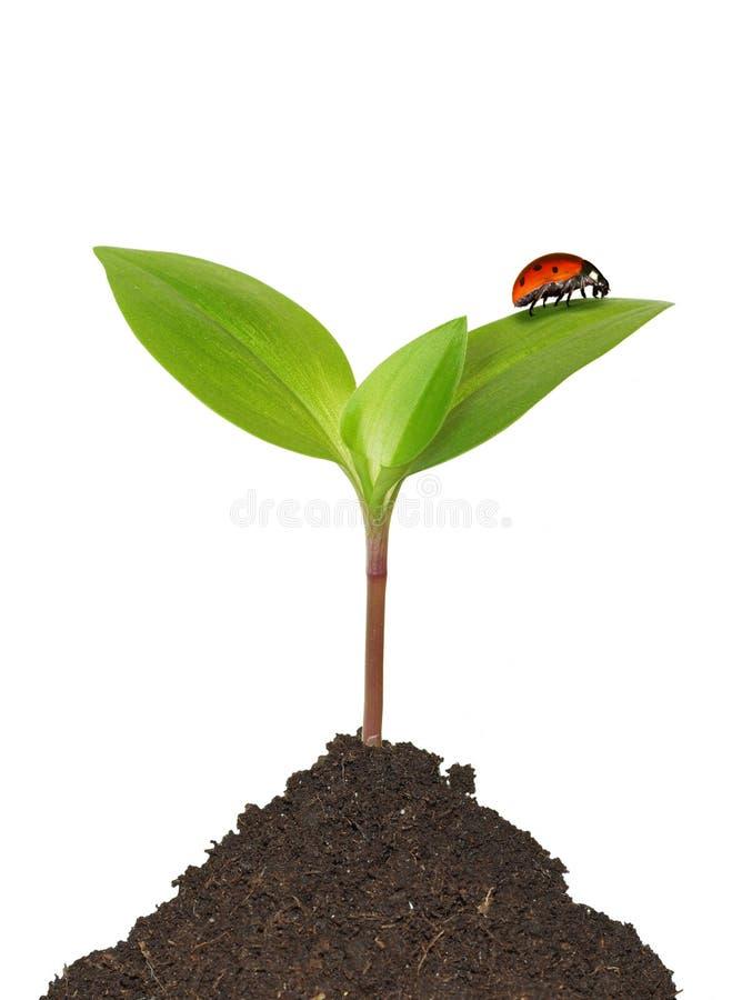 Nyckelpiga på växt arkivfoton