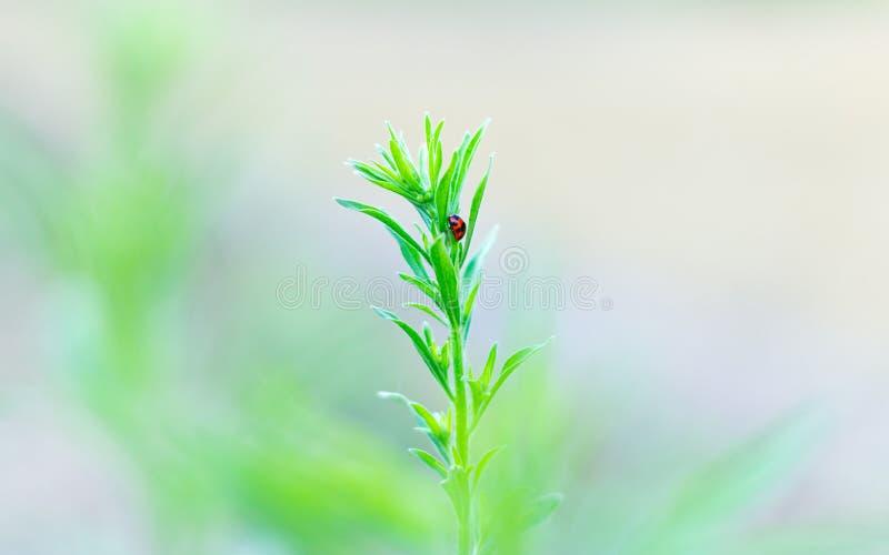 Nyckelpiga på växt royaltyfria bilder