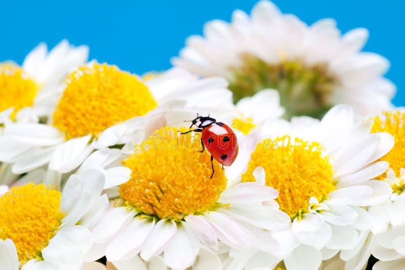 Nyckelpiga på vita blommor. royaltyfria foton