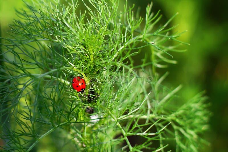 Nyckelpiga p? gr?smakroslut upp nyckelpiga som sitter på en grodd för grön växt Härlig naturbakgrund med nytt gräs för morgon och arkivfoto