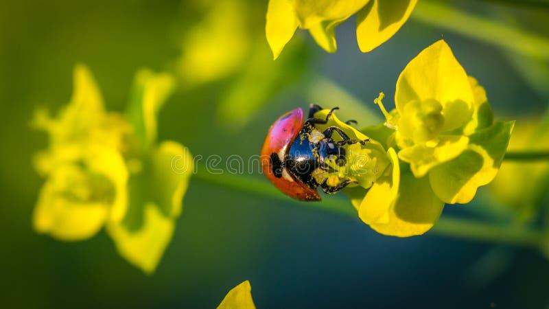Nyckelpiga som matar på pollen royaltyfri bild