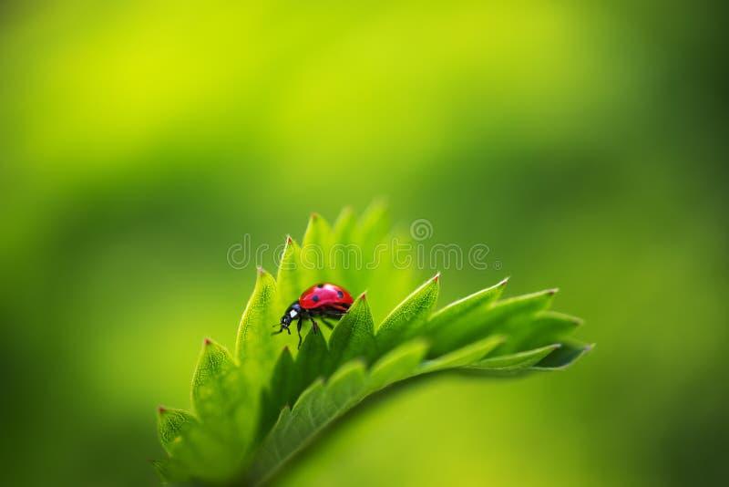 Nyckelpigakryp som går på nya gröna sidor i bygdfältet, härlig vårdag royaltyfria bilder