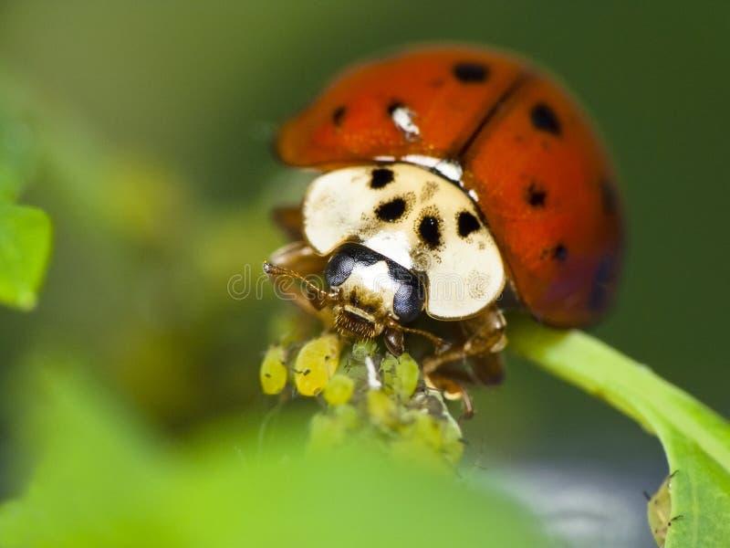 Nyckelpigamatningar på bladlöss royaltyfri foto