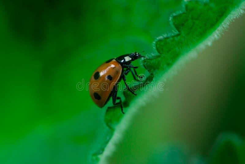Nyckelpigan går upp på kanten av ett blad, coccinellidaen, artropod, Coleoptera, Cucujiformia, Polyphaga arkivfoto
