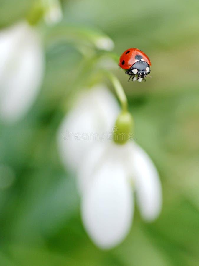 Nyckelpigan och fjädrar blomman fotografering för bildbyråer