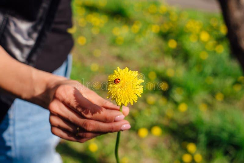 Nyckelpigan på en gul maskros royaltyfri fotografi