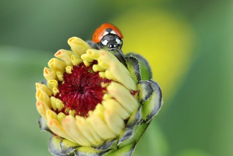 Nyckelpigan sitter på blommor arkivfoton