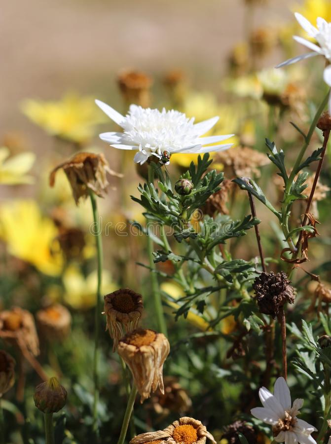 Nyckelpigaskalbagge på en tusensköna för vit blomma arkivbilder